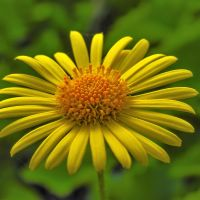 Цветок, Ляховичи