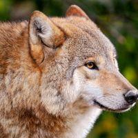 Волк, Перевоз