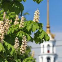 Шуйские каштаны на фоне колокольни Воскресенского собора., Шуя