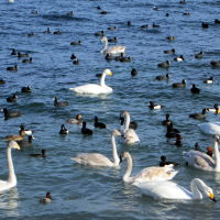 Лебеди в бухте, Новороссийск