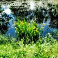Ирисы в пруду, Хотьково