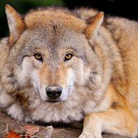 Волк, Большая Ижора