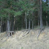 Обнажённые корни сосен..., Арти