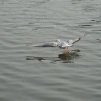 Челябинск_чайка река Миасс/Gull River Miass, Челябинск