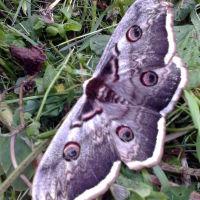 Найбільший метелик в Емільчині, Емильчино