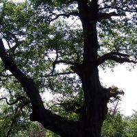 Old Oak Tree,near Baden-Baden,Germany, Баден-Баден
