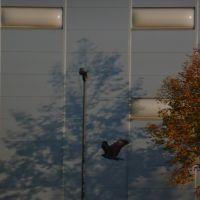 Mäusebussard vorm Sensapolis, Зинделфинген