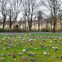 Crocuses Carpet, Spring in Karlsruhe, Germany, Карлсруэ