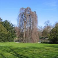 Schöne Trauerweide im Zoo / Nice weeping willow in the zoo, Карлсруэ