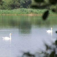 Schwäne auf dem See bei Schweringen (Landkreis Nienburg/Weser, Хильдешейм