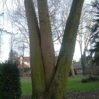 Baum im Krankenhauspark, Ален
