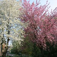 Kirschblüte, Лунен