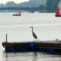 Heron Watching The Sailboats, Мюнстер