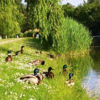 Enten am Stadtgraben beim Sonnenbaden, Гарделеген