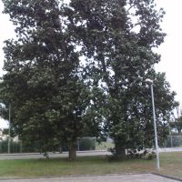 Ein Baum bei Wap-waschbär, Гарделеген