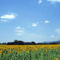 Sonnenblumenfeld, Антибе