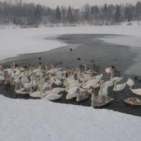 Zimní Stříbrné jezero, 1 (Winter Silver Like) - hejno labutí (flock of swans), Опава