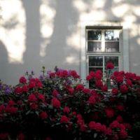 Červené rododendróny (Red rhododendrons), Опава