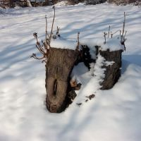 Stump in winter, Острава