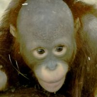 Orangutan, Усти-над-Лабем