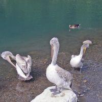 Dählhölzli / Pelican, Кониц