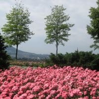 Bern - Rose Garden / Berna - Rosaleda, Кониц