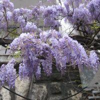 Beograd - Glicina - Wisteria sinensis, Белград