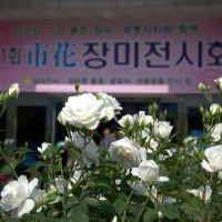 The 1st Rose Exhibition, Flower of Masan City, Масан