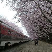 진해시 봄꽃축제, Чинхэ
