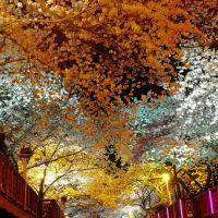 Cherry blossom, Чинхэ