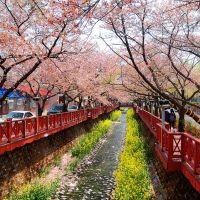 Jinhae-City cherry, Чинхэ