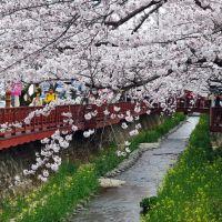 Cherry blossoms in Yeojwacheon, Jinhae 진해 여좌천 벚꽃, Чинхэ