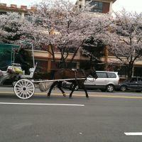 진해군항제 마차, Чинхэ