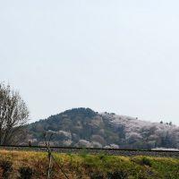 진해 군항제 Jinhae gunhangje Cherry Blossom Festival, Чинхэ