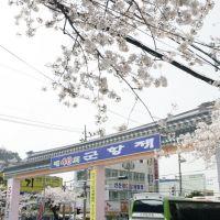 Jinhae Cherry Blossom Festival, Чинхэ