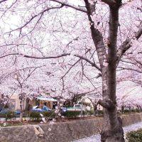 Gunhangje, cherry blossom festival, Чинхэ
