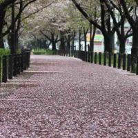 桜並木, Касугаи