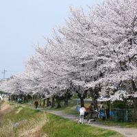 SAKURA ふれあい緑道の桜, Касугаи