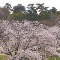桜満開 国道1号からの岡崎城, Оказаки