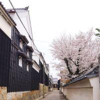 満開桜と八丁蔵通り, Оказаки