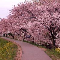 Cherry Trees, Акита