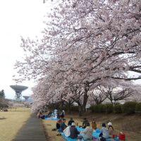 KDDIの桜, Китаибараки