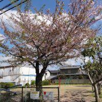 中央公園ソメイヨシノ, Омииа