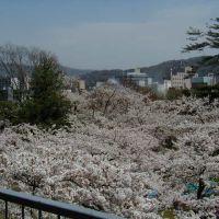 Cherry Blossom, Japanese SAKURA, Мориока