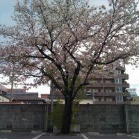 下荒田の根性桜, Кагошима