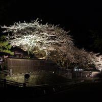 佐渡金山の庭に咲いた桜, Айкава