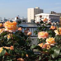 軍港とバラ園, Йокосука