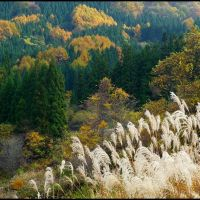 Green Cryptomerias, Yellow Larches and Silver Maiden grass, Хиратсука