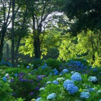 大辻山の紫陽花, Исе