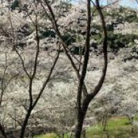 内山観音の桜, Исе